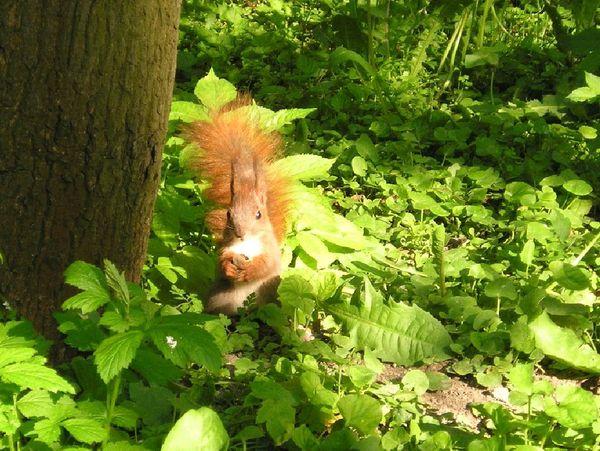Parkowa wiewiórka